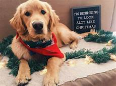 merry christmas golden retriever puppy puppies buy a dog animals
