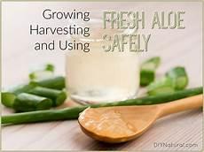 acheter un aloe vera aloe vera uses how to grow and use fresh aloe plants
