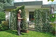 kletterpflanze schatten immergrün hecke am laufenden meter terrasse 1