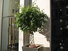 pflege ficus benjamini the world 180 s tree species how to take care of ficus