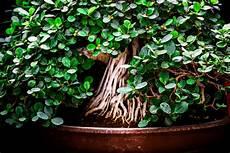 bonsai richtig pflegen ich mach jetzt in bonsai b 228 umen classwatch