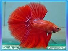 Sebutan Nama Ikan Yang Ada Di Teluk Aur