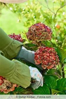 anleitung hortensien schneiden fr 252 hjahr oder herbst