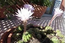 fiori di cactus a sua immagine i fiori di cactus