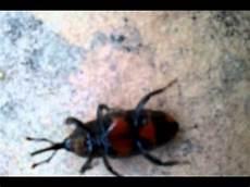 scarafaggio volante uno scarafaggio volante rosso