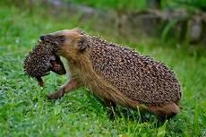 igel im garten willkommene mamaigel schwer am tragen animais ador 225 veis animais