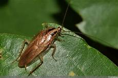 können kakerlaken fliegen k 246 nnen kakerlaken eigentlich fliegen 5 infos