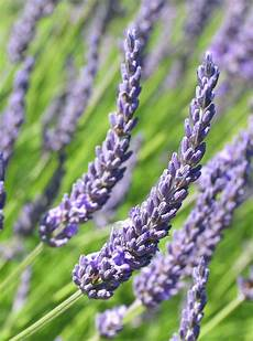 Eng Jardin Lavenders The Real And The L Effet