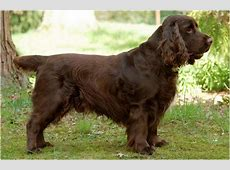 Field Spaniel   Facts For Kids, Pictures, Breeders