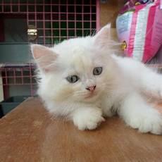 Gambar Kucing Anggora Hitam Putih Koleksi Gambar Hd