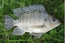Klasifikasi Morfologi Ikan Nila Lengkap Dengan Gambar