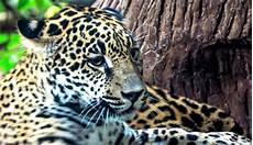 Fotografiar Jaguares En Costa Rica Es Una Manera De
