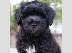 Shmoodle   Mix of Toy Poodle and the Mal Shi