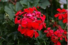 les 10 plus belles fleurs rouges du jardin