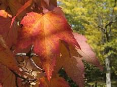 Acer Rubrum Maple Tree Photo Gallery