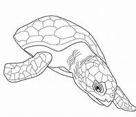 Free Sea Turtle Life Cycle Coloring Page  Download