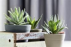aloe vera so kultivieren sie ihre zimmerpflanze richtig