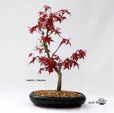 Acer Palmatum Deshojo Bonsai Erable Du Japon 10 12 Ans