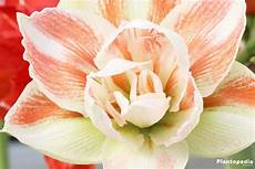 amaryllis pflege nach blüte amaryllis ritterstern 220 berwintern und pflege nach der