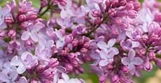 fiori lilla nomi lill 224 folto arbusto dagli esuberanti fiorellini viola