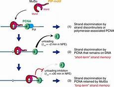pcn9a mutsα maintains the mismatch repair capability by