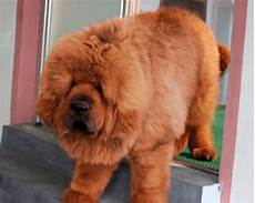 Tibetan Mastiff Puppies For Sale Breedktm 1 12913 Dogs