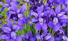 iris fiore immagini iris come curarlo per avere fiori bellissimi e