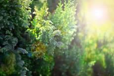 blaue scheinzypresse 187 pflanzen pflegen schneiden und mehr
