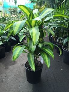 Dracaena Fragrans Massangeana Happy Plant Westlake