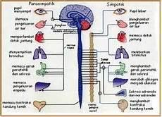 Sistem Saraf Pusat Dan Sistem Saraf Tepi Susunan Sistem