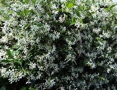 fiori profumati da giardino trachelospermum jasminoides 175mm pot common name