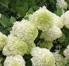 Hydrangeas How To Grow Care For Hydrangea Flowers