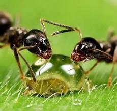 hausmittel gegen ameisen im garten ameisen bek 228 mpfen im haus und im garten hausmittel gegen