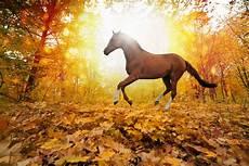 hintergrundbilder pferde blatt laufen herbst tiere