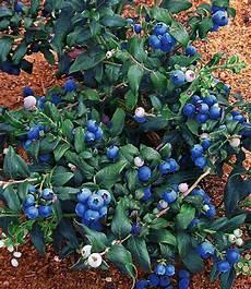 heidelbeere quot hortblue 174 quot 1 pflanze g 252 nstig kaufen