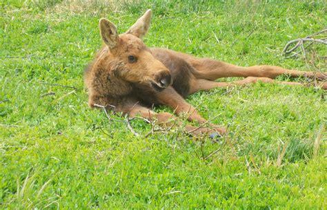 Baby Moose By Mariann14 On Deviantart