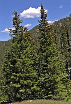 engelmann sprüche engelmann spruce coniferous forest