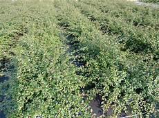 bodendeckerpflanzen kaufen kriechmispel