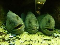 malvorlagen unterwasser tiere um g 228 hnende langeweile unter wasser foto bild tiere