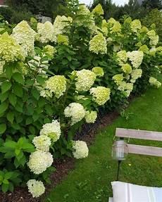 Rispenhortensie Limelight Hydrangea Paniculata