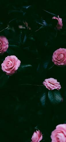 Iphone X Max Flower Wallpaper by Many Pink Roses Iphone Xs Max X 8 7 6 5 4 3gs Wallpaper