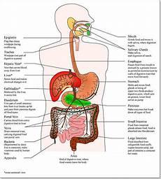 Digestive System Image Digital Journal