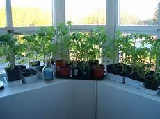 file tomato seedlings 3805 jpg wikimedia commons