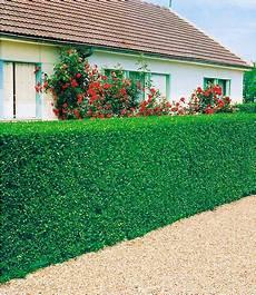 pflanzen für hecke liguster hecke 3 pflanzen g 252 nstig kaufen mein