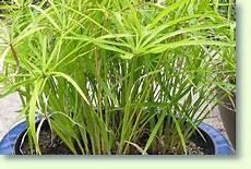 zypergr 228 ser richtig pflegen pflanzenfreunde