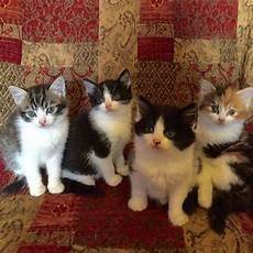 kittens for sale kittens for sale bury greater manchester pets4homes