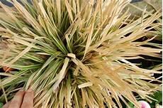 wann gräser schneiden gr 228 ser schneiden pflanzen f 252 r nassen boden