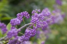 Strauch Mit Lila Beeren - how to grow purple beautyberry shrubs in your yard