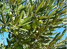 fiori di ulivo fiori piante e giardini mondo olivo albero sempreverde