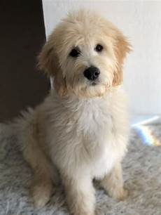 goldendoodle haircut my favorite dog doodle and ladies first puppy trim and bath 4 months old in 2020 goldendoodle puppy goldendoodle